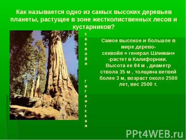 Как называется одно из самых высоких деревьев планеты, растущее в зоне жестколиственных лесов и кустарников? секвойя гигантская Самое высокое и большое в мире дерево- секвойя « генерал Шлиман» -растет в Калифорнии. Высота ее 84 м , диаметр ствола 35…