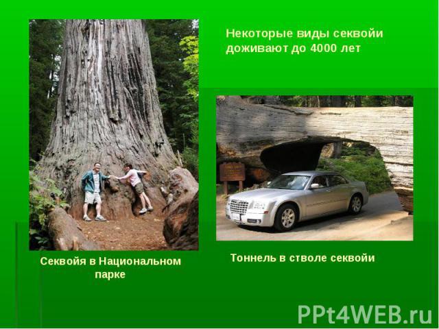 Тоннель в стволе секвойи Секвойя в Национальном парке Некоторые виды секвойи доживают до 4000 лет