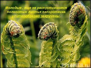 Молодые , еще не распустившиеся полностью листья папоротника улиткообразно закру