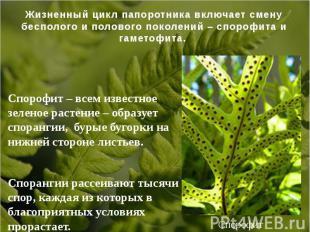 Спорофит – всем известное зеленое растение – образует спорангии, бурые бугорки н