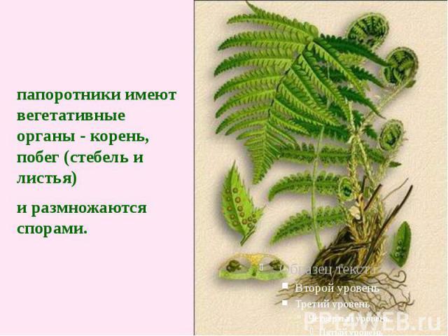папоротники имеют вегетативные органы - корень, побег (стебель и листья) и размножаются спорами.