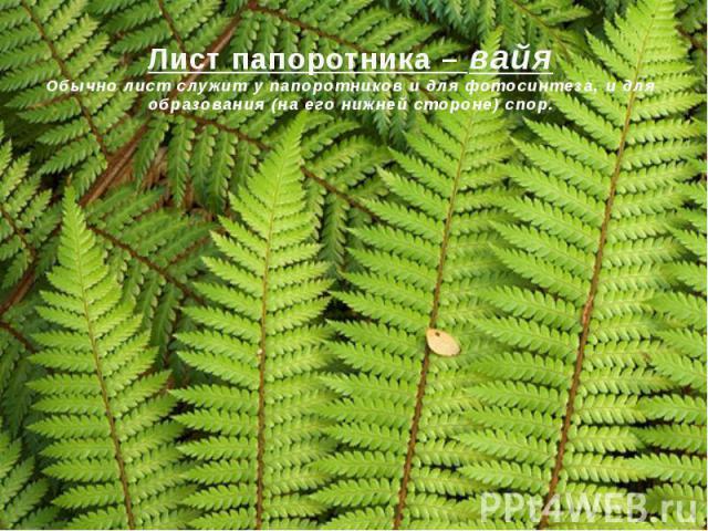 Лист папоротника – вайяОбычно лист служит у папоротников и для фотосинтеза, и для образования (на его нижней стороне) спор.