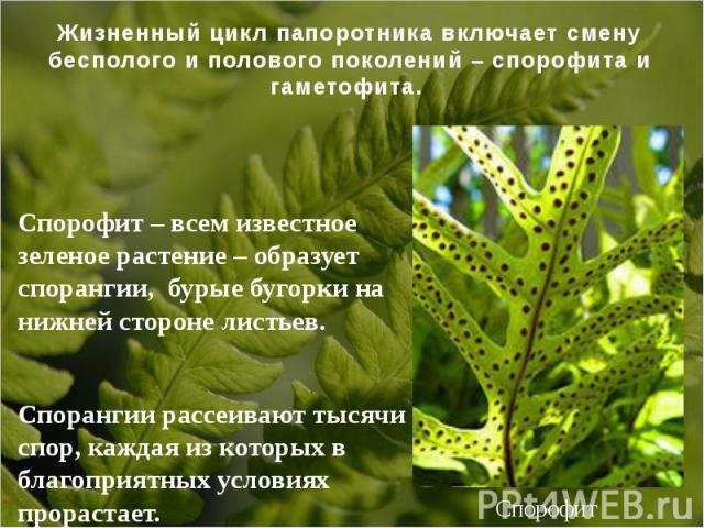 Спорофит – всем известное зеленое растение – образует спорангии, бурые бугорки на нижней стороне листьев. Спорангии рассеивают тысячи спор, каждая из которых в благоприятных условиях прорастает.