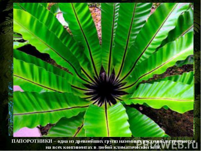 Папоротниковидные – большая группа споровых растений, насчитывающая свыше 10 тыс. видов.