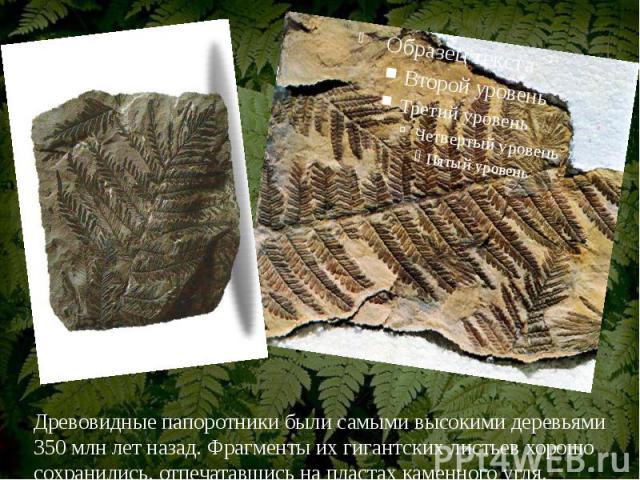 Древовидные папоротники были самыми высокими деревьями 350 млн лет назад. Фрагменты их гигантских листьев хорошо сохранились, отпечатавшись на пластах каменного угля