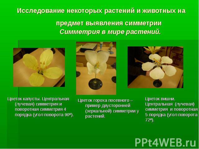 Цветок капусты. Центральная (лучевая) симметрия и поворотная симметрия 4 порядка (угол поворота 90є). Цветок гороха посевного – пример двусторонней (зеркальной) симметрии у растений. Цветок вишни. Центральная (лучевая) симметрия и поворотная 5 поряд…