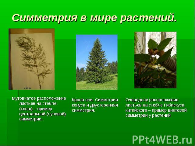 Крона ели. Симметрия конуса и двусторонняя симметрия. Очередное расположение листьев на стебле Гибискуса китайского – пример винтовой симметрии у растений Симметрия в мире растений. Мутовчатое расположение листьев на стебле (хвощ) – пример центральн…