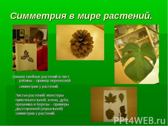 Шишки хвойных растений и лист рябины – пример переносной симметрии у растений. Листья растений: монстеры привлекательной, клена, дуба, орешника и березы – примеры двусторонней (зеркальной) симметрии у растений. Симметрия в мире растений.