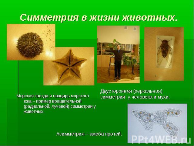 Морская звезда и панцирь морского ежа – пример вращательной (радиальной, лучевой) симметрии у животных. Двусторонняя (зеркальная) симметрия у человека и мухи. Асимметрия – амеба протей. Симметрия в жизни животных.