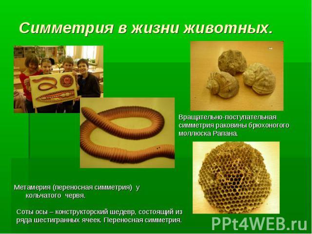 Метамерия (переносная симметрия) у кольчатого червя. Вращательно-поступательная симметрия раковины брюхоногого моллюска Рапана. Соты осы – конструкторский шедевр, состоящий из ряда шестигранных ячеек. Переносная симметрия. Симметрия в жизни животных.