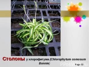 Столоны у хлорофитума (Chlorophytum comosum Bonnie)