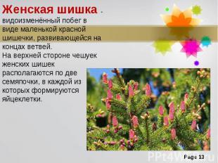 Женская шишка - видоизменённый побег в виде маленькой красной шишечки, развивающ