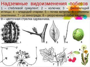 Надземные видоизменения побегов1 – стеблевой суккулент; 2 – колючка; 3 – филло