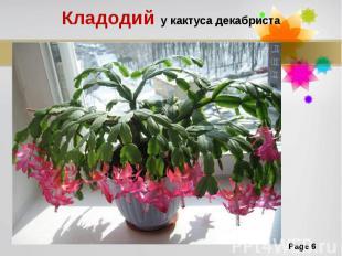 Кладодий у кактуса декабриста