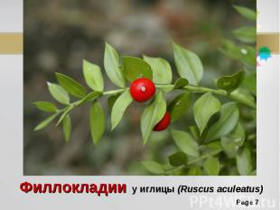 Филлокладии у иглицы (Ruscus aculeatus)