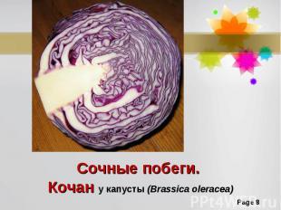 Сочные побеги. Кочан у капусты (Brassica oleracea)