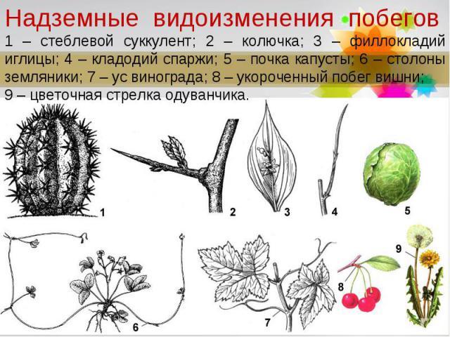 Надземные видоизменения побегов1 – стеблевой суккулент; 2 – колючка; 3 – филлокладий иглицы; 4 – кладодий спаржи; 5 – почка капусты; 6 – столоны земляники; 7 – ус винограда; 8 – укороченный побег вишни; 9 – цветочная стрелка одуванчика.
