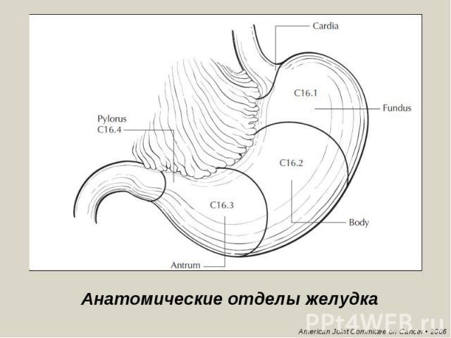 Анатомические отделы желудка