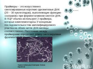 Праймеры – это искусственно синтезированные короткие однонитевые ДНК (20 – 30 ну