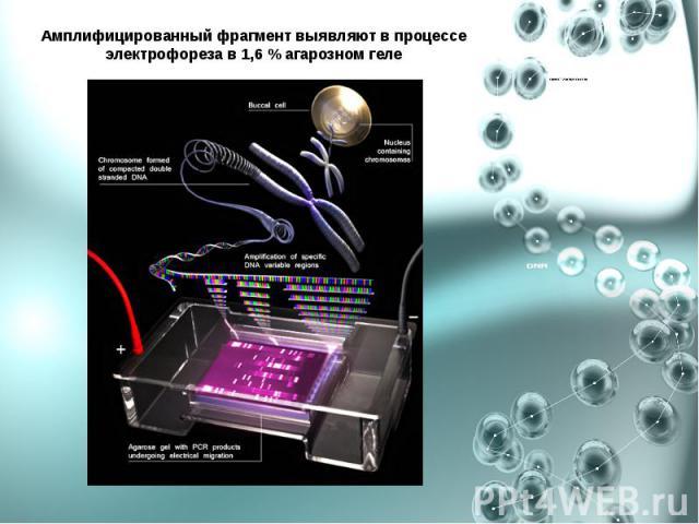 Амплифицированный фрагмент выявляют в процессе электрофореза в 1,6 % агарозном геле