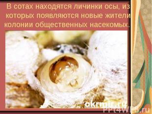 В сотах находятся личинки осы, из которых появляются новые жители колонии общест