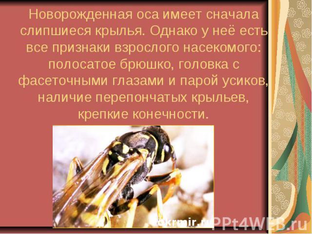 Новорожденная оса имеет сначала слипшиеся крылья. Однако у неё есть все признаки взрослого насекомого: полосатое брюшко, головка с фасеточными глазами и парой усиков, наличие перепончатых крыльев, крепкие конечности.