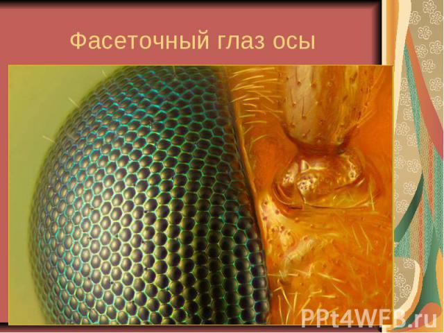 Фасеточный глаз осы