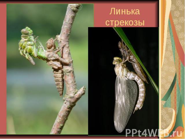 Линька стрекозы