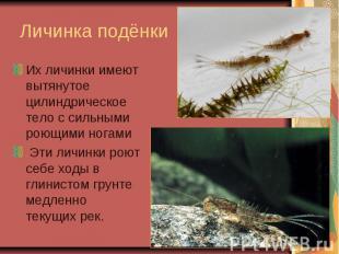 Личинка подёнкиИх личинки имеют вытянутое цилиндрическое тело с сильными роющими