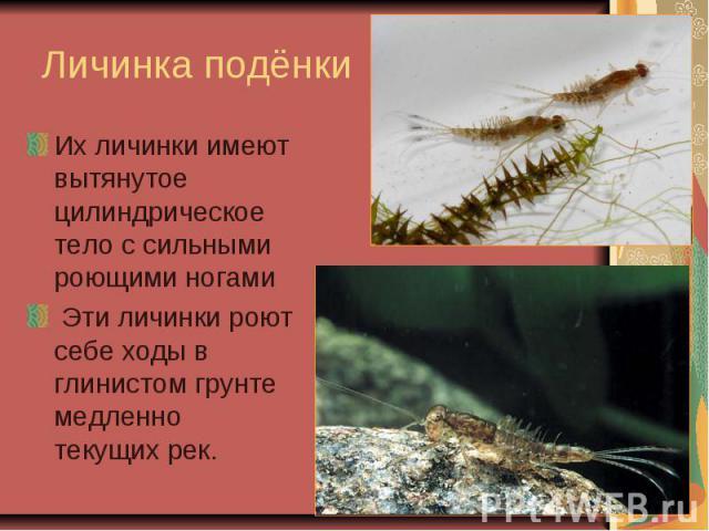 Личинка подёнкиИх личинки имеют вытянутое цилиндрическое тело с сильными роющими ногами Эти личинки роют себе ходы в глинистом грунте медленно текущих рек.