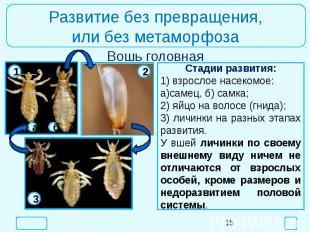 Развитие без превращения,или без метаморфозаСтадии развития:1) взрослое насекомо
