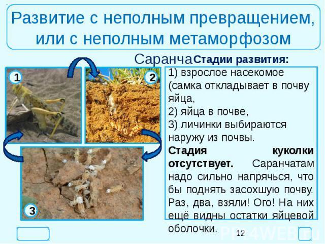 Развитие с неполным превращением,или с неполным метаморфозомСтадии развития:1) взрослое насекомое (самка откладывает в почву яйца,2) яйца в почве,3) личинки выбираются наружу из почвы.Стадия куколки отсутствует. Саранчатам надо сильно напрячься, что…