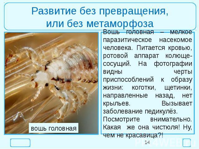 Развитие без превращения,или без метаморфозаВошь головная – мелкое паразитическое насекомое человека. Питается кровью, ротовой аппарат колюще-сосущий. На фотографии видны черты приспособлений к образу жизни: коготки, щетинки, направленные назад, нет…