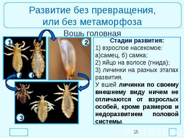 Развитие без превращения,или без метаморфозаСтадии развития:1) взрослое насекомое:а)самец, б) самка;2) яйцо на волосе (гнида);3) личинки на разных этапах развития.У вшей личинки по своему внешнему виду ничем не отличаются от взрослых особей, кроме р…