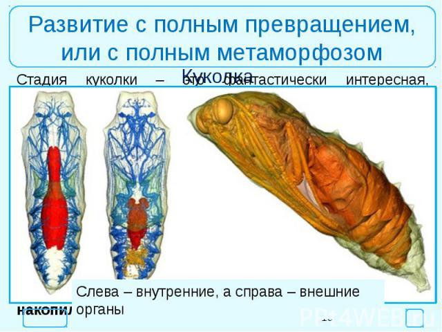 Развитие с полным превращением,или с полным метаморфозомСлева – внутренние, а справа – внешние органы