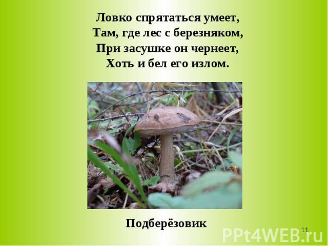 Ловко спрятаться умеет,Там, где лес с березняком,При засушке он чернеет,Хоть и бел его излом.Подберёзовик
