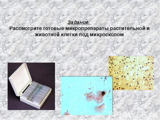 Задание. Рассмотрите готовые микропрепараты растительной и животной клетки под микроскопом