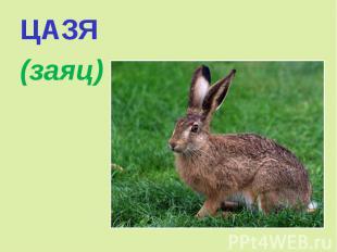 ЦАЗЯ (заяц)