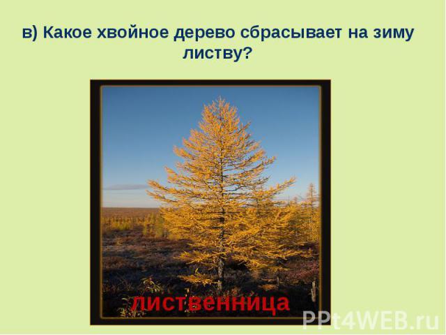 в) Какое хвойное дерево сбрасывает на зиму листву?