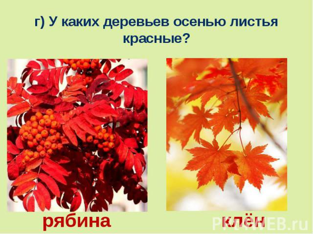 г) У каких деревьев осенью листья красные?