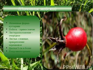 Шиповник майскийЖизненная форма-кустарникПобеги – прямостоячиеЛисторасположение