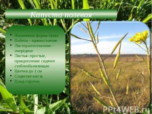 Капуста полеваяЖизненная форма-траваПобеги – прямостоячиеЛисторасположение –очер