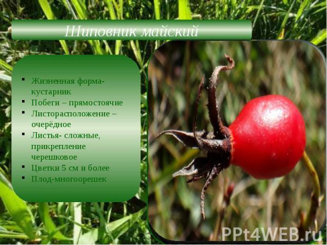 Шиповник майскийЖизненная форма-кустарникПобеги – прямостоячиеЛисторасположение –очерёдноеЛистья- сложные, прикрепление черешковоеЦветки 5 см и болееПлод-многоорешек