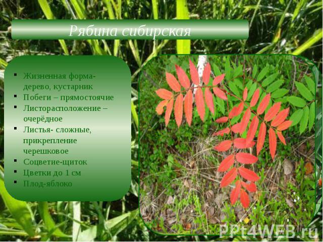 Рябина сибирскаяЖизненная форма-дерево, кустарникПобеги – прямостоячиеЛисторасположение –очерёдноеЛистья- сложные, прикрепление черешковоеСоцветие-щитокЦветки до 1 см Плод-яблоко