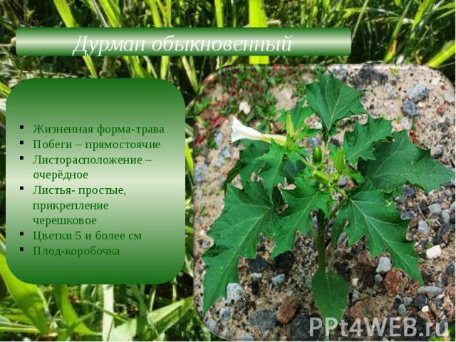 Дурман обыкновенныйЖизненная форма-траваПобеги – прямостоячиеЛисторасположение –очерёдноеЛистья- простые, прикрепление черешковоеЦветки 5 и более см Плод-коробочка