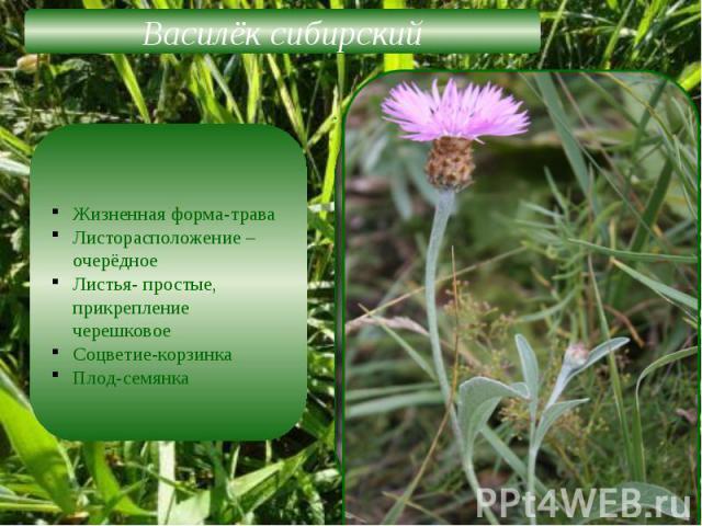 Василёк сибирскийЖизненная форма-траваЛисторасположение –очерёдноеЛистья- простые, прикрепление черешковоеСоцветие-корзинкаПлод-семянка