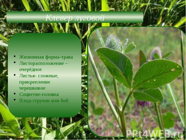 Клевер луговойЖизненная форма-траваЛисторасположение –очерёдноеЛистья- сложные, прикрепление черешковоеСоцветие-головкаПлод-стручок или боб