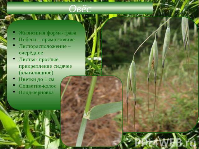 Жизненная форма-траваПобеги – прямостоячиеЛисторасположение –очерёдноеЛистья- простые, прикрепление сидячее (влагалищное)Цветки до 1 смСоцветие-колосПлод-зерновка