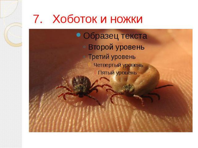 7.Хоботок и ножки