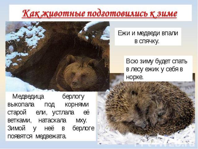 Медведица берлогу выкопала под корнями старой ели, устлала её ветками, натаскала мху. Зимой у неё в берлоге появятся медвежата. Ежи и медведи впали в спячку. Всю зиму будет спать в лесу ежик у себя в норке.